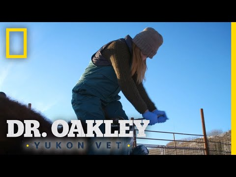 A Bison Hoof Trim | Dr. Oakley, Yukon Vet