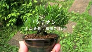 クチナシFくちなし・梔子花もの盆栽の販売と育て方・作り方bonsaitree