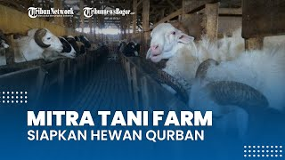 Jelang Idul Adha, Mitra Tani Farm Siapkan Hewan-hewan Kurban Terbaiknya, Ada Program Kurban Kaleng