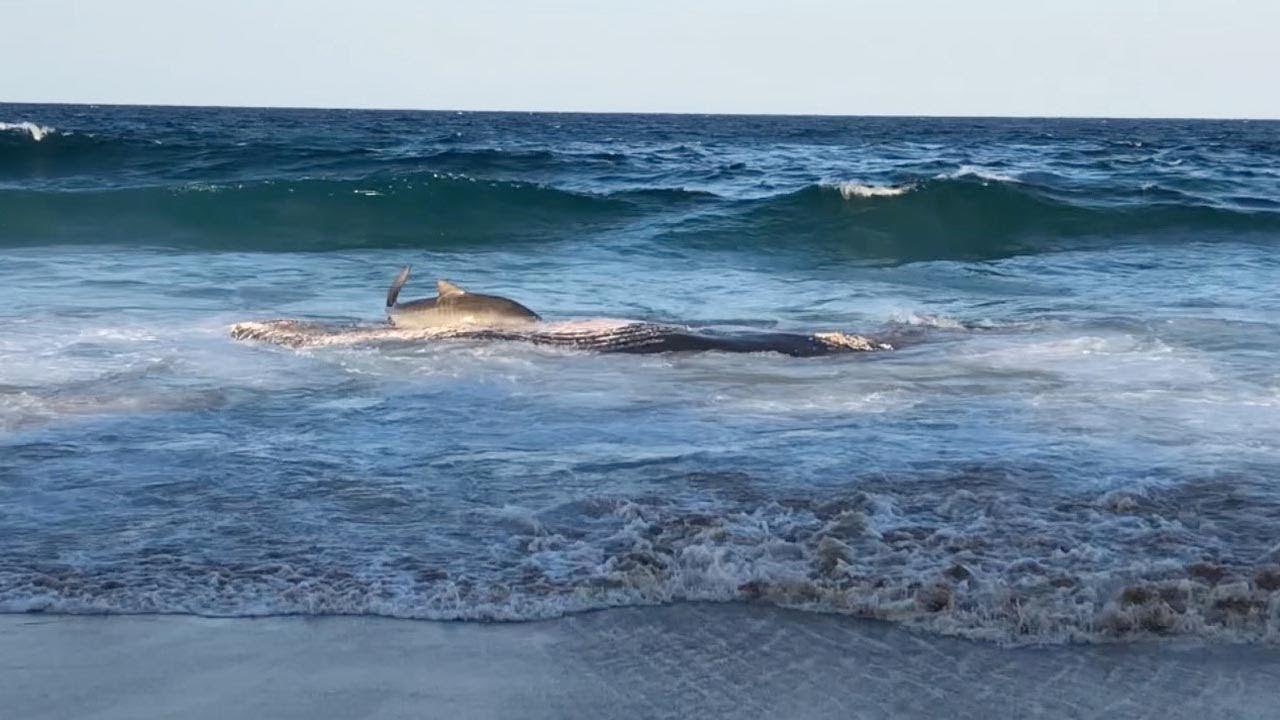 4-х метровая тигровая акула прибилась к побережью, чтобы полакомиться тушей кита