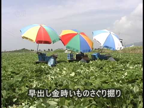 鳴門金時(栽培~収穫) /徳島いきいきテレビ