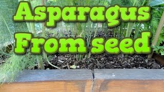 Growing asparagus from seed and transplanting