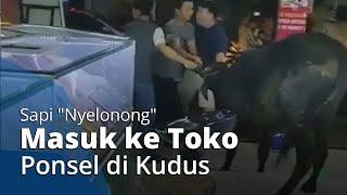 """Viral Video Sapi """"Nyelonong"""" Masuk Ke Toko Ponsel di Kudus, Karyawan Panik Kesulitan Tenangkan Sapi"""