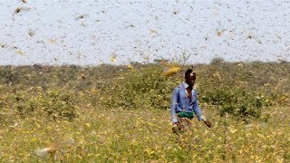 United Nations explains the mystery of desert locusts in Eastern Africa