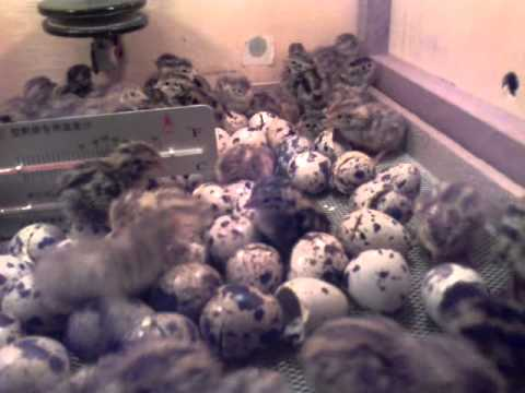 Video Cara Menetaskan Telur Puyuh