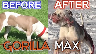 Gorilla Max Before and After Review!! Supplement for your Bully GAINS!!