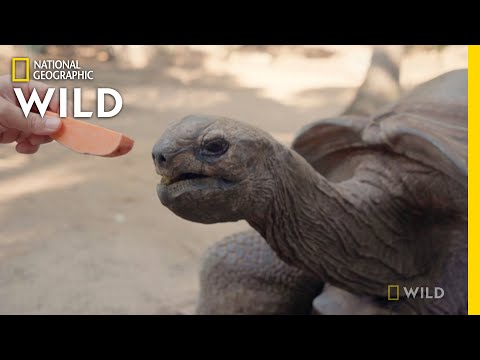 Weighing a Giant Tortoise    Secrets of the Zoo: Down Under