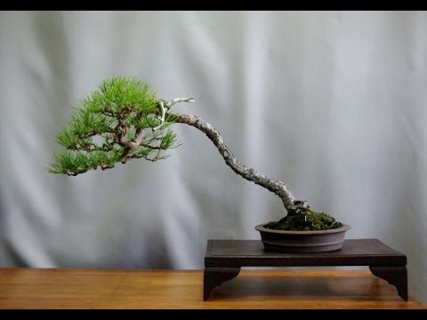 Small Literati Red Pine