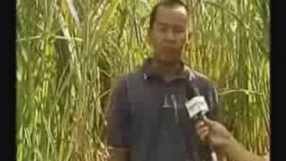 Tanaman Rumput Napier Taiwan-Bisnes Plg Untung.siri/2