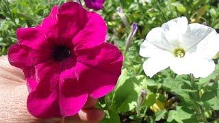 С какой петунии собирать семена для посева видео