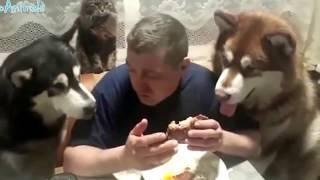 Смотреть видео. ПРИКОЛЫ С ЖИВОТНЫМИ, смешные собаки и кошки  WITH ANIMALS, funny cats vs dogs