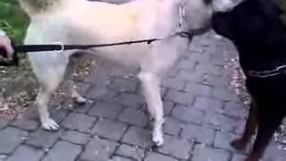 Cмешные собаки. Как собаки знакомятся