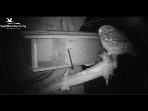 Little Owls Family 1: Female Comes Back to Prey - 18.04.17