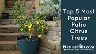 Top 5 Most Popular Patio Citrus Trees | NatureHills.com