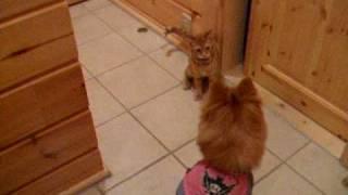 猫VSポメラニアン