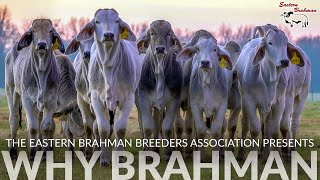 WHY BRAHMAN | Bred In America Since 1885