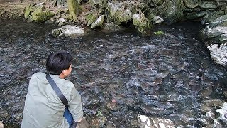 Đã mắt xem đàn cá thần hàng nghìn con ăn rau muống ở Suối cá thần Cẩm Lương Thanh Hóa