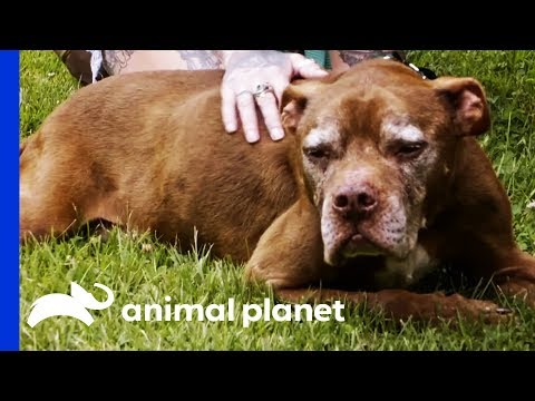 Senior Dog Finds A Home To Live Out The Rest Of His Days In Comfort | Pit Bulls & Parolees