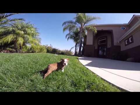 AKC Rare Boston Terrier Male Puppy FOr Sale