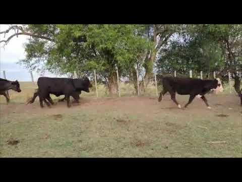 Imagen 43 Vaquillonas/Vacas Entoradas en Artigas