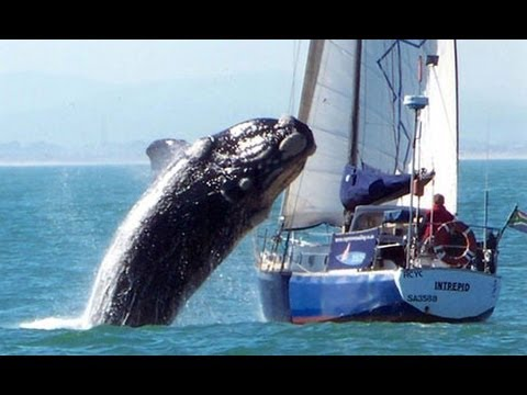 Sometime animals in the water are a little bigger than expected. Can whales actually eat divers? Check it out!         Extra tag ;funny cat videos,funny video 2013,harlem shake,funny songs,fails 2013,funny falls 2013,mindless behavior,funny 2013,funny accidents 2013,pranks,gangnam s