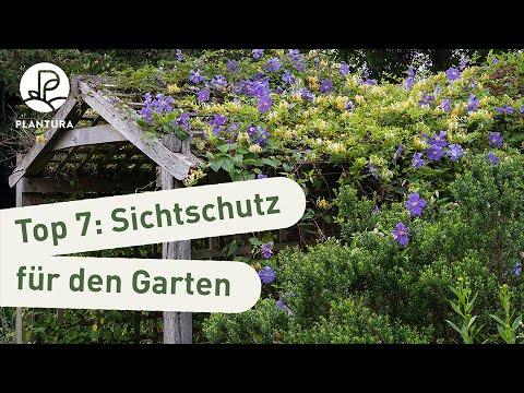 Immergrüne Kletterpflanzen: Unsere Top 7 für den idealen Sichtschutz (Übersicht)