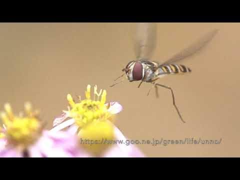 小さなキク科の花の前でホバリングするホソヒラタアブ