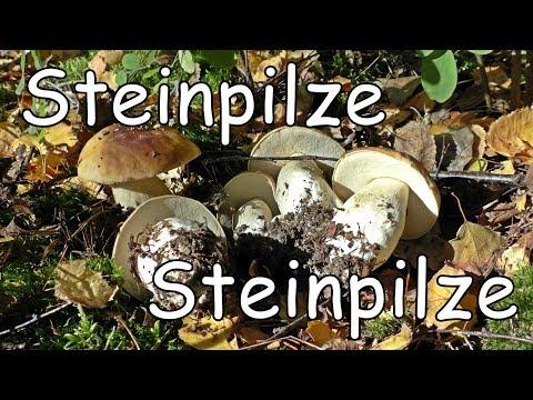 Steinpilze Steinpilze   Super Pilze Funde ohne Ende