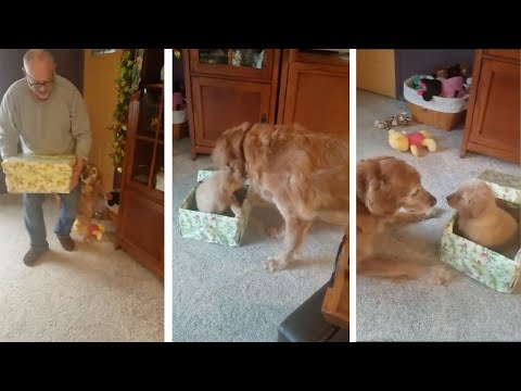 Dog Unwraps Puppy For Christmas Present
