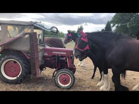 Shire Horse & IHC