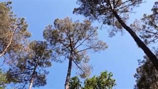 palombe org Élagage d'un pin à la palombière