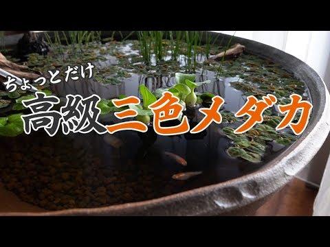 【ビオトープ】朱赤透明鱗三色メダカ【睡蓮鉢#04】
