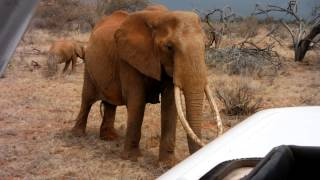 preview picture of video 'Großer Elefant läuft zum Safari Auto - Ngutuni Wildlife Conservancy - Tsavo East National ParkKenia'