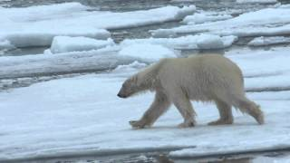 Polar bear walk, jump, swim - Ours polaire se promène ,saute et nage -