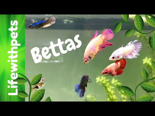 Betta Community Tank Update