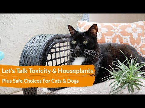 Hoya Plant Toxicity Cat Care Guides