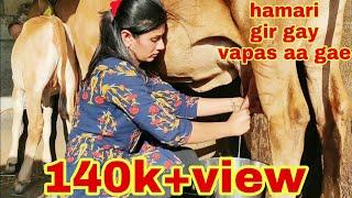 Indian gir cow full milking by hand  video.. gir gay milking video dairyfarm gujarat.