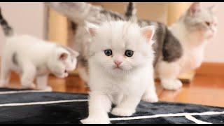 刚满月的小猫咪偷偷学会走路,第一次出来就满地乱跑,追都追不上