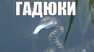 Смотреть онлайн Водяной уж ловит рыбу в озере