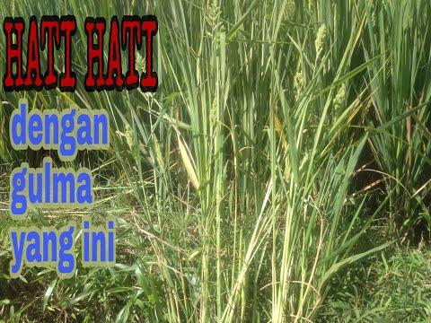 Gulma tanaman padi yg membandel