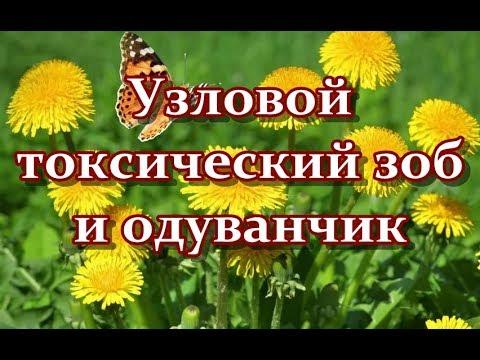 Узловой токсический зоб без операции - ОДУВАНЧИК