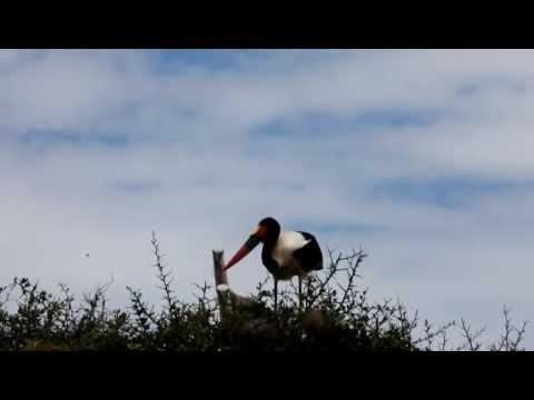 Ephippiorhynchus senegalensis-