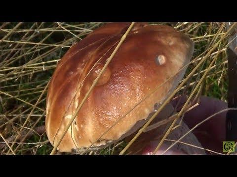 Сбор белых грибов на Куршской косе. Калининград 2017 год.