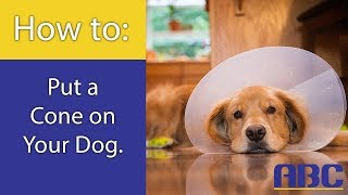 How to Train Your Dog to Wear a Cone | Animal Behavior College