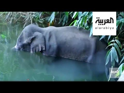 العرب اليوم - شاهد: قتل أنثى فيل في الهند يُثير موجة غضب كبيرة