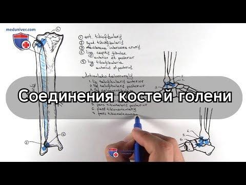 Анатомия голеностопного сустава и соединения костей голени - meduniver.com