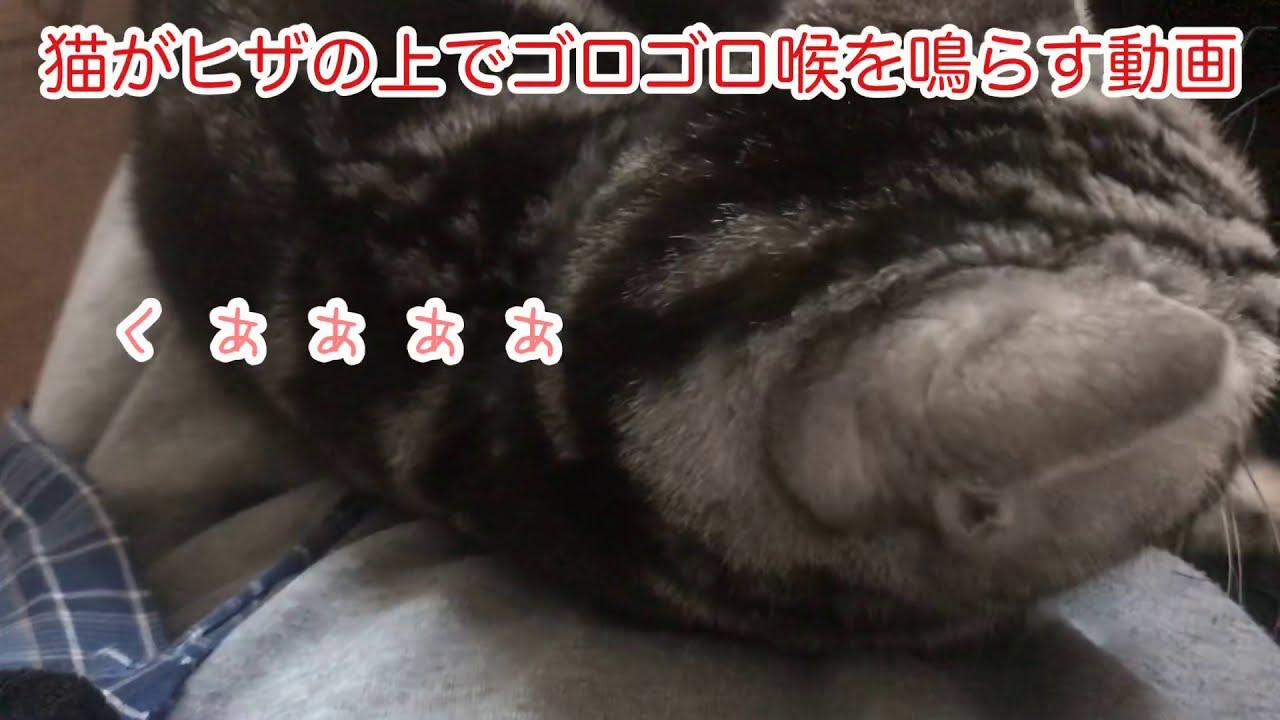 アメリカンショートヘアの猫が膝の上でゴロゴロ喉を鳴らす音が聞ける動画 My cat purred, rubbing against my legs