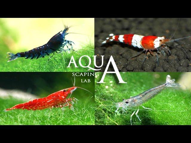Aquascaping Lab - Neo Caridina & Japonica Amano Shrimp info / Caridina eteropoda e multidentata
