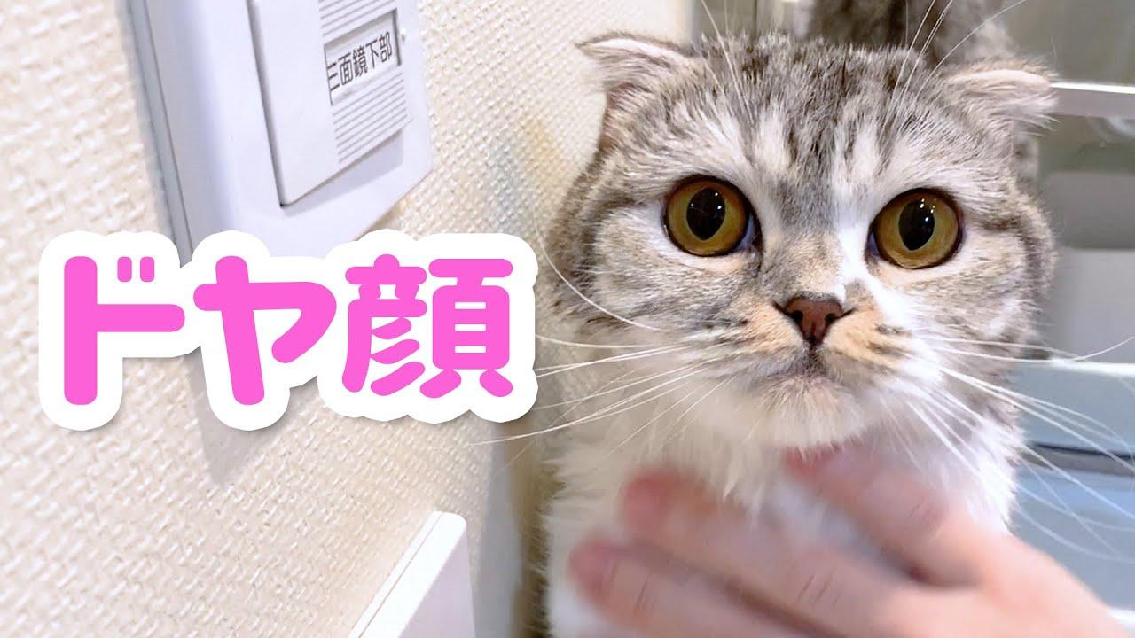 猫にドライヤーしたら予想外の反応が![スコティッシュフォールド・ぐう]
