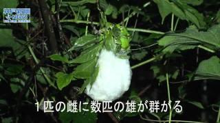 モリアオガエルが産卵期迎える六甲山